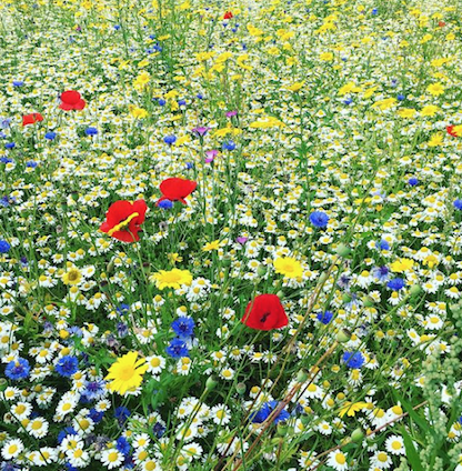 Pictorial Meadows take off in private gardens